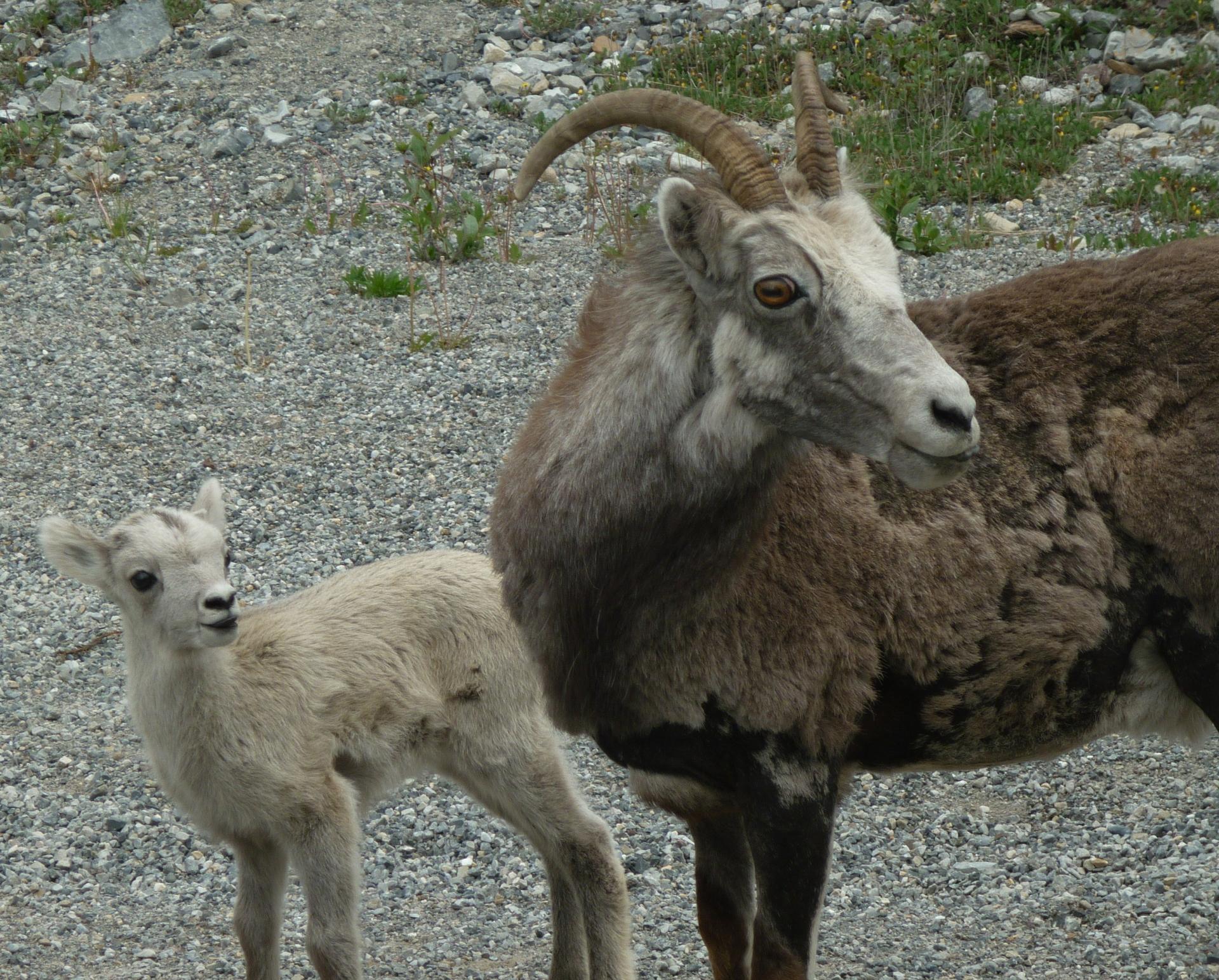 Dall sheep at  Watson, Yukon