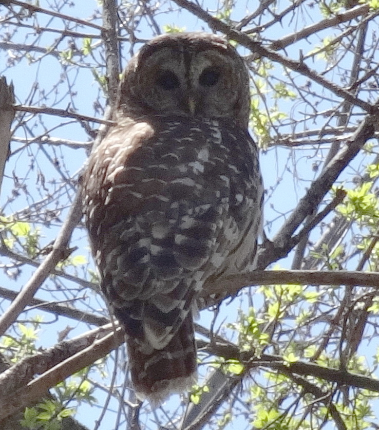 Barred Owl, Howell Station campground, Iowa