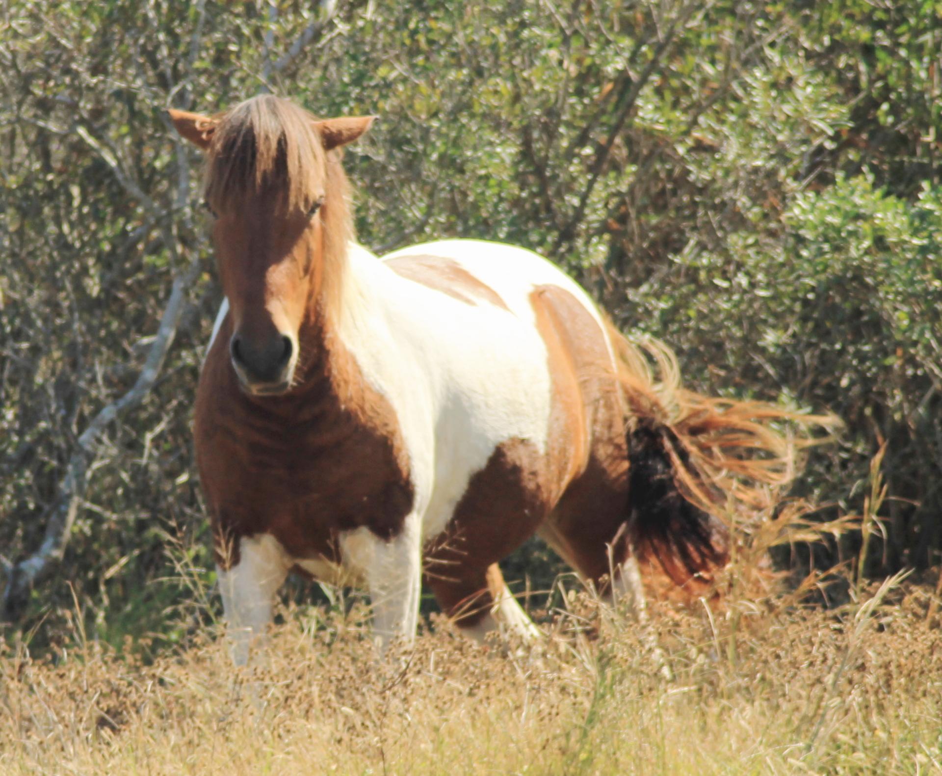 (Wild Horse) Assateague Island National Seashore ME