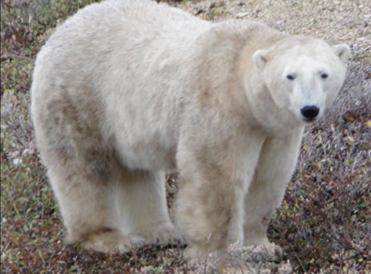 Churchill Canada, Fantasy RV Tour, Polar Bear 11/28/2009